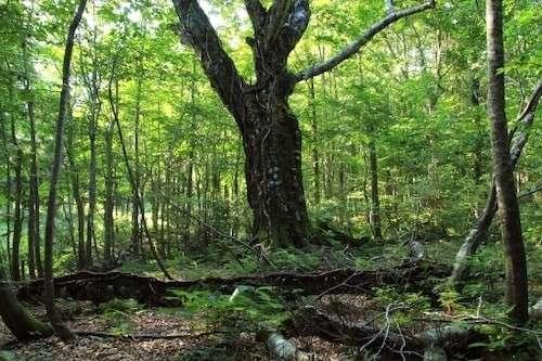 白神山地といえば、ブナ原生林!