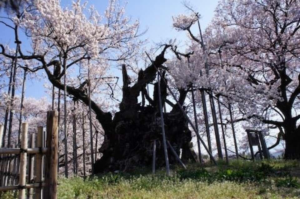【日本三大桜】山高神代桜