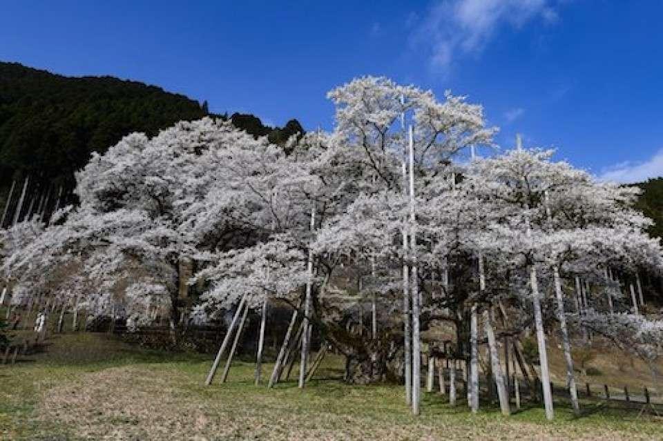 【日本三大桜】根尾谷淡墨桜
