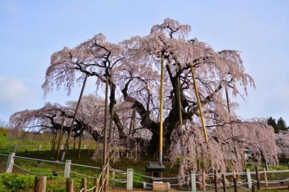 【日本三大桜】三春滝桜